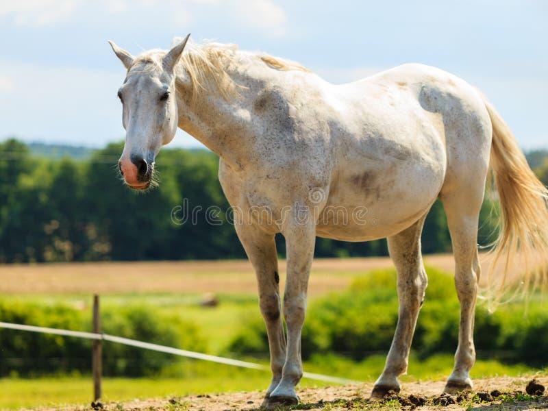Величественная грациозно белая лошадь в луге стоковые фотографии rf