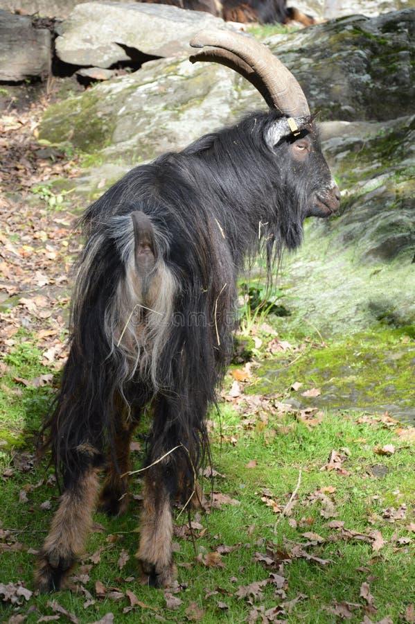 Величественная коза billy с длинными мехом и рожками стоковое изображение