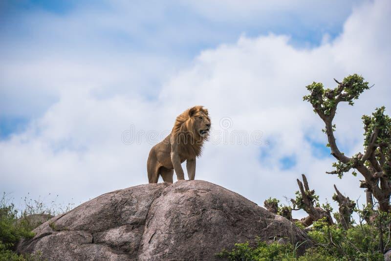 Величественный лев на скалистом выходе на поверхность стоковое изображение rf