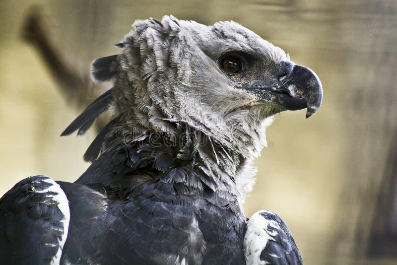 Величественный орел гарпии стоковые фотографии rf