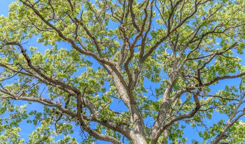 величественный дуб стоковое изображение