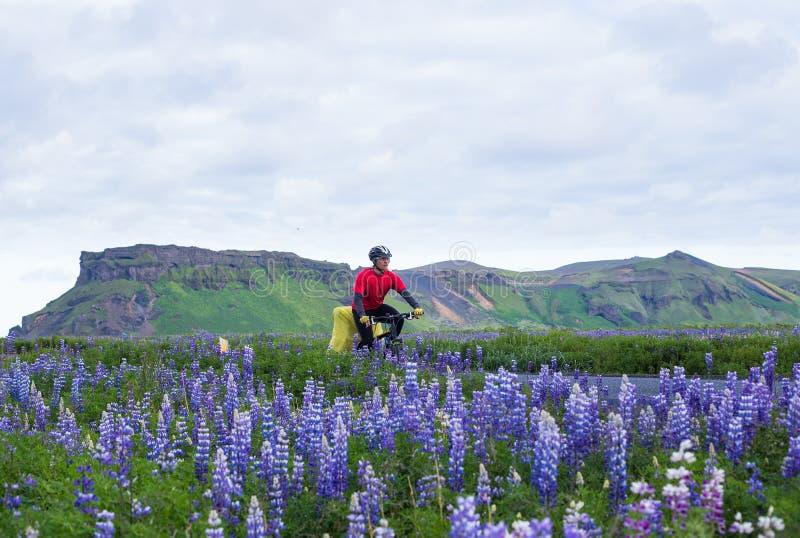 Велосипедист с lupine во время исландского отключения на лете стоковые изображения rf