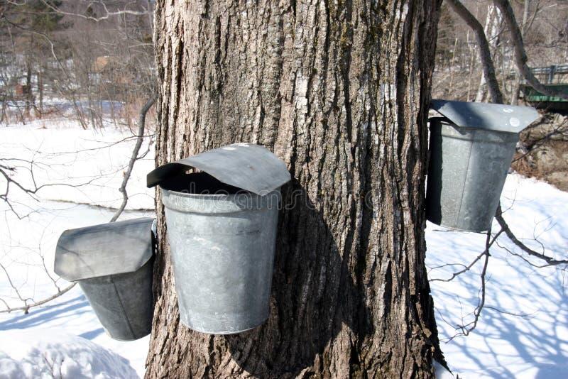 Ведра дерева и собрания сахара клена стоковое изображение rf