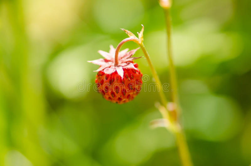 Download ведро Bushes клубника одичалая Стоковое Изображение - изображение насчитывающей органическо, клубника: 41662183