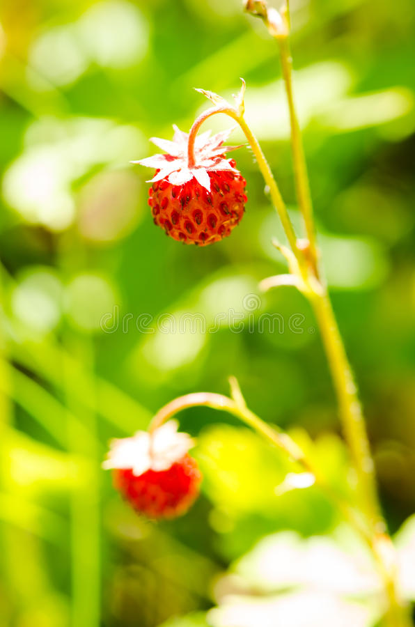 Download ведро Bushes клубника одичалая Стоковое Фото - изображение насчитывающей backhoe, сладостно: 41662212