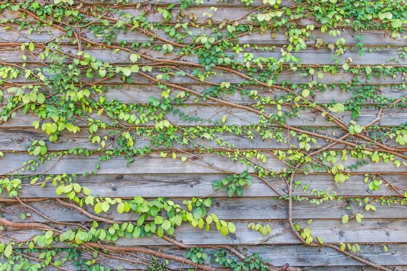 Взбираясь заводы на старое деревянном стоковые фотографии rf