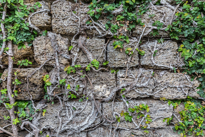 Взбираясь заводы на grungy каменной стене Естественная предпосылка и tex стоковое изображение rf
