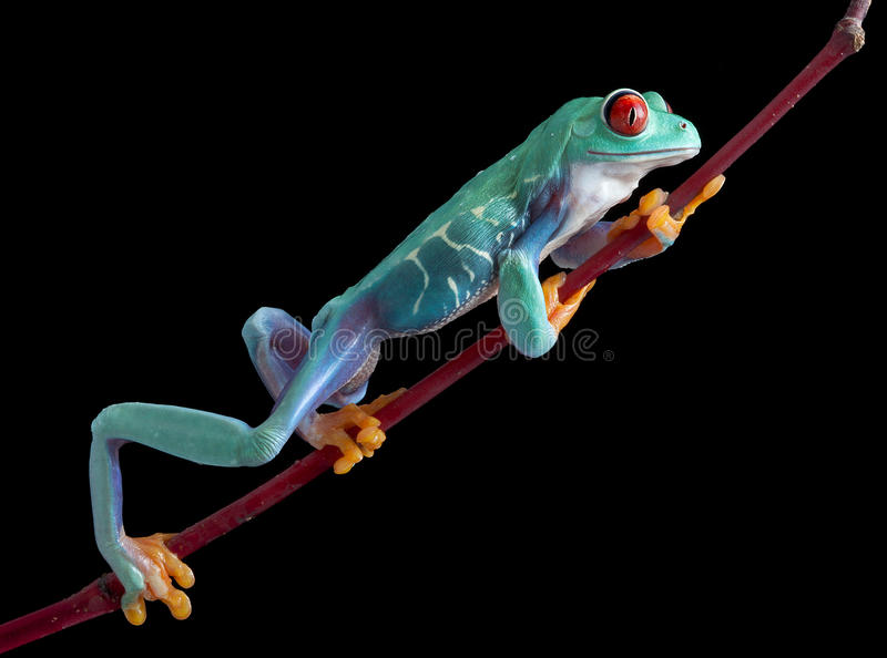 взбираясь eyed вал красного цвета лягушки стоковые фото