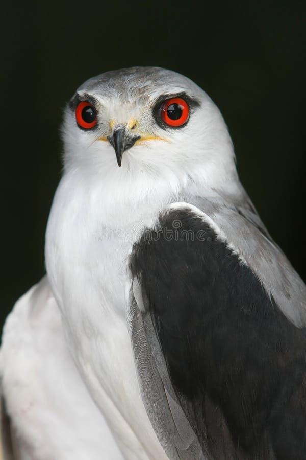 взваленный змей птицы черный стоковое изображение rf