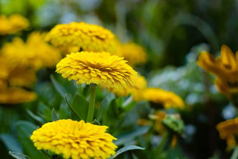 Взгляда со стороны цветка Jacobaea садоводство vulgaris желтого ботаническое стоковое фото rf