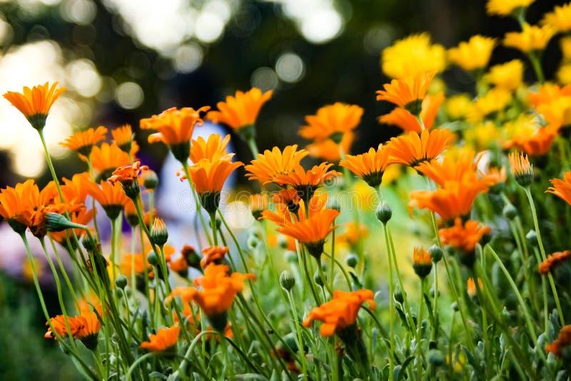 Взгляда со стороны цветка Jacobaea садоводство vulgaris желтого оранжевого ботаническое стоковые фотографии rf