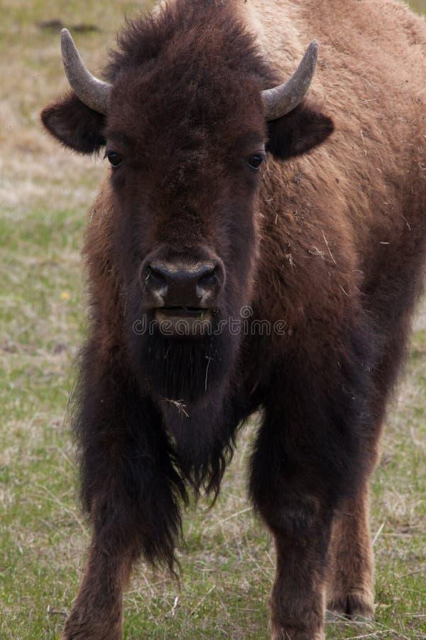 Взгляды большие буйвола стоковые фотографии rf