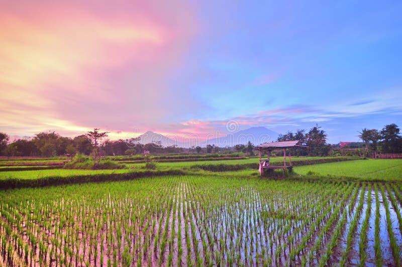 Взгляды полей риса против фона гор и заходов солнца в сельской местности стоковые изображения