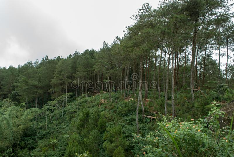 Взгляды соснового леса Kalilo от запада стоковые фотографии rf