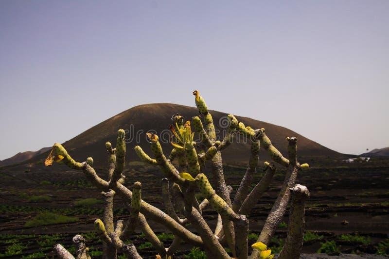 Взгляд вдоль сухого завода на зоне делать вина на вулканической земле лавы и черном конусе вулкана стоковая фотография rf