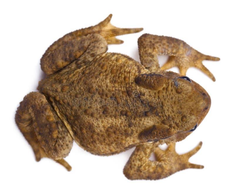 Взгляд высокого угла общей жабы или европейской жабы, bufo Bufo стоковое фото
