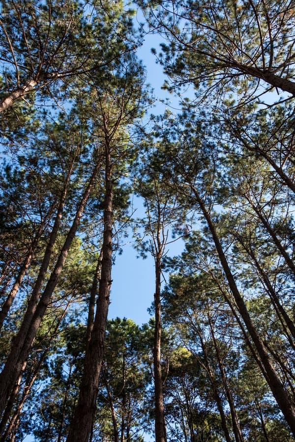 Взгляд высокого угла соснового леса стоковое изображение