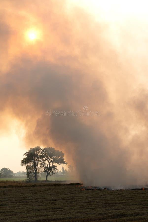 Взгляд горящей соломы риса в сельском поле риса стоковые фотографии rf