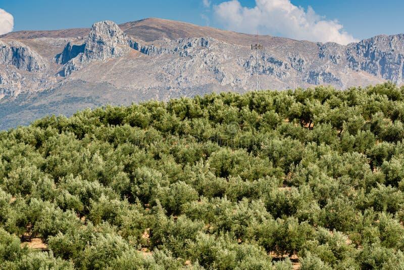 Взгляд гор и оливок стоковые изображения rf