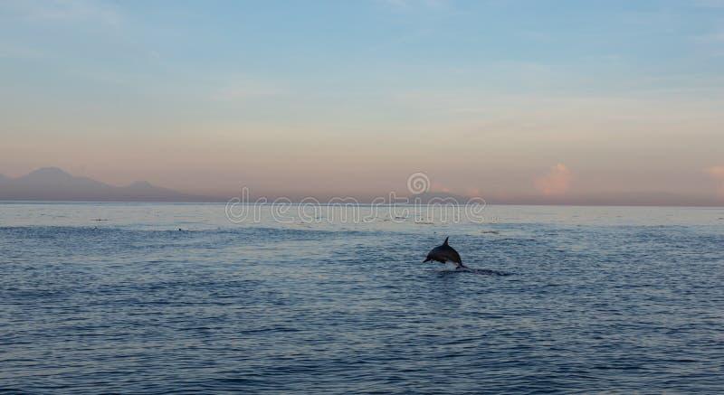 Взгляд группы в составе дикие дельфины плавая в пляже Lovina, Бали стоковые изображения rf