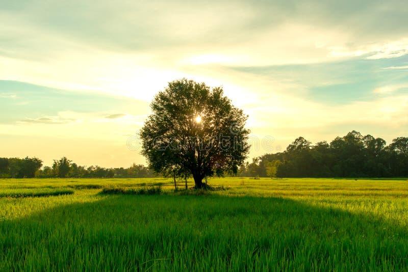 Взгляд дерева тамаринда в зеленых поле риса и времени вечера стоковое фото rf