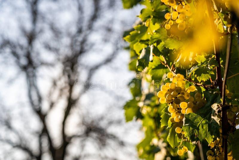 Взгляд детали виноградника со зрелыми виноградинами стоковое фото