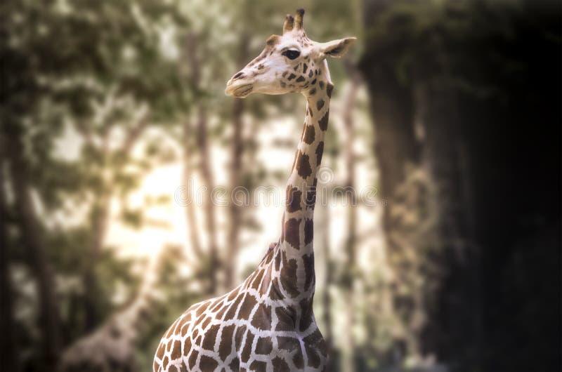 Взгляд жирафа стоковое фото rf