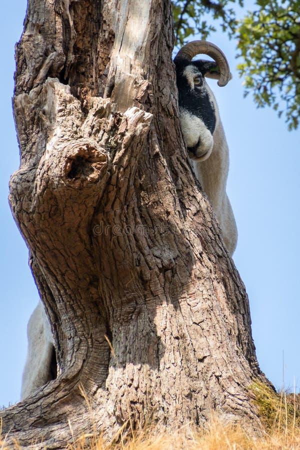 Взгляд затирания козы против дерева около деревни Conist стоковые изображения
