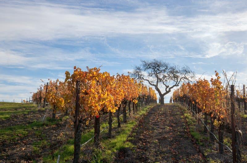 Взгляд зимы дерева в винограднике в предгорьях Санта-Барбара в центральной Калифорния США стоковое изображение rf