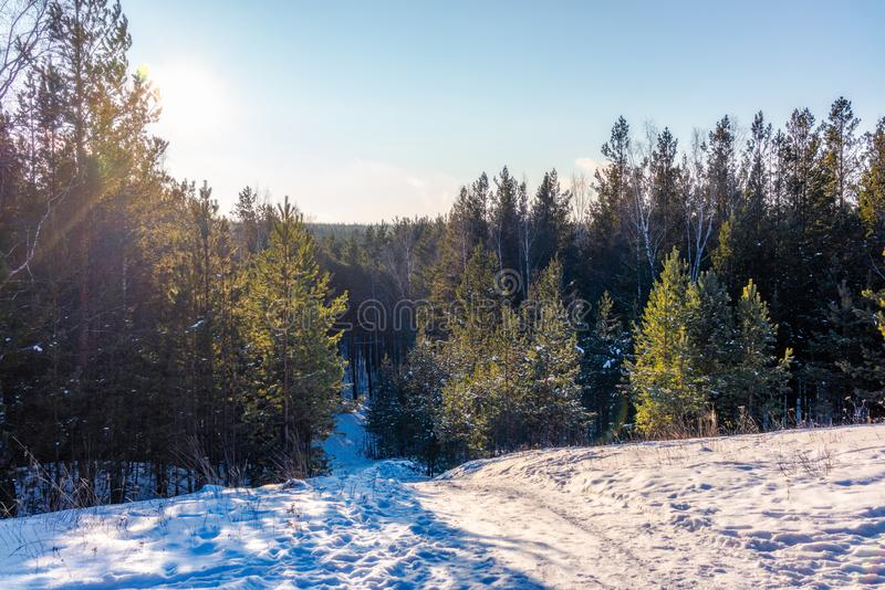 Взгляд зимы от холма на молодом сосновом лесе на солнечный день стоковое изображение rf