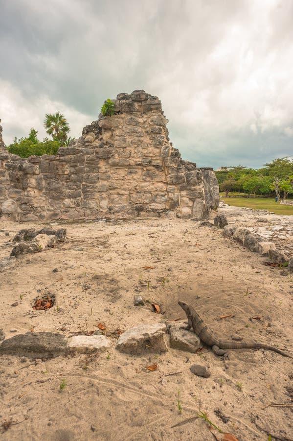 Взгляд игуаны на майяских руинах в El Rey стоковая фотография rf