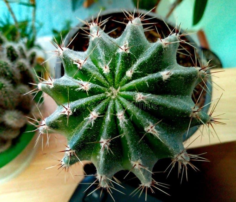 Взгляд кактуса сверху стоковое изображение