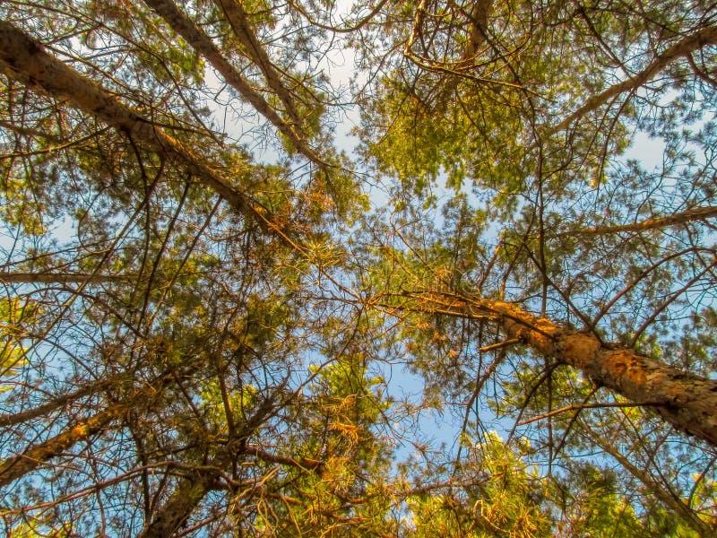 Взгляд конца-вверх деревьев снизу вверх стоковые изображения rf