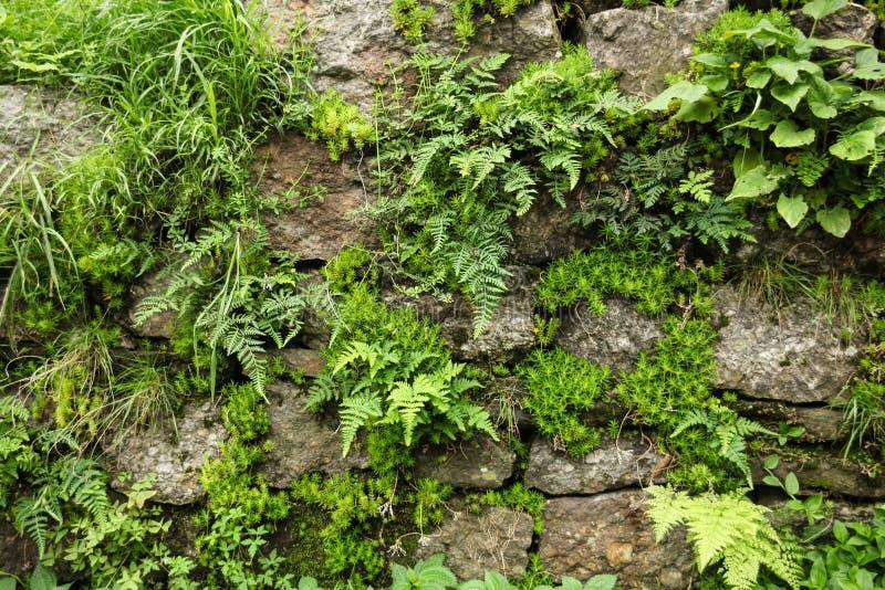 взгляд конца-вверх каменной стены и зеленого папоротника при мох растя через камни в индийских Гималаях, стоковое изображение rf