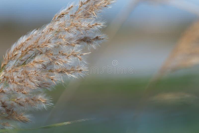 Взгляд конца-вверх колосков тростника травы australis Albufera, Валенсия, Испания стоковые фото