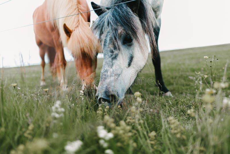 взгляд конца-вверх красивых исландских лошадей пася стоковая фотография