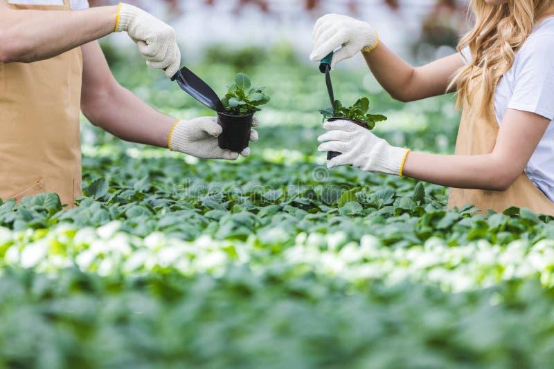 Взгляд конца-вверх садовников засаживая цветки стоковое фото rf