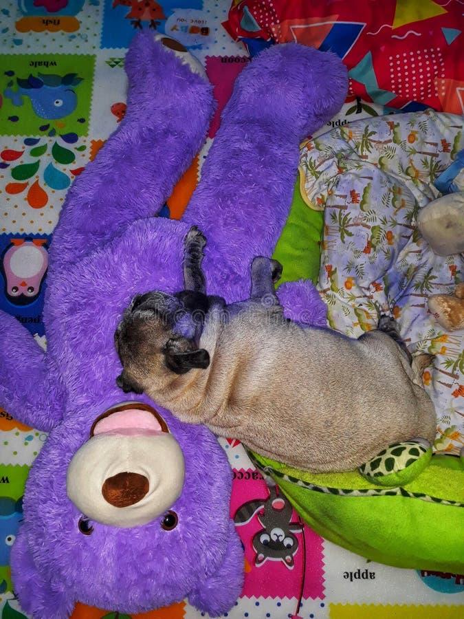 Взгляд конца-вверх, взгляд сверху, жирная собака мопса спать на пурпурном медведе с милым стоковая фотография