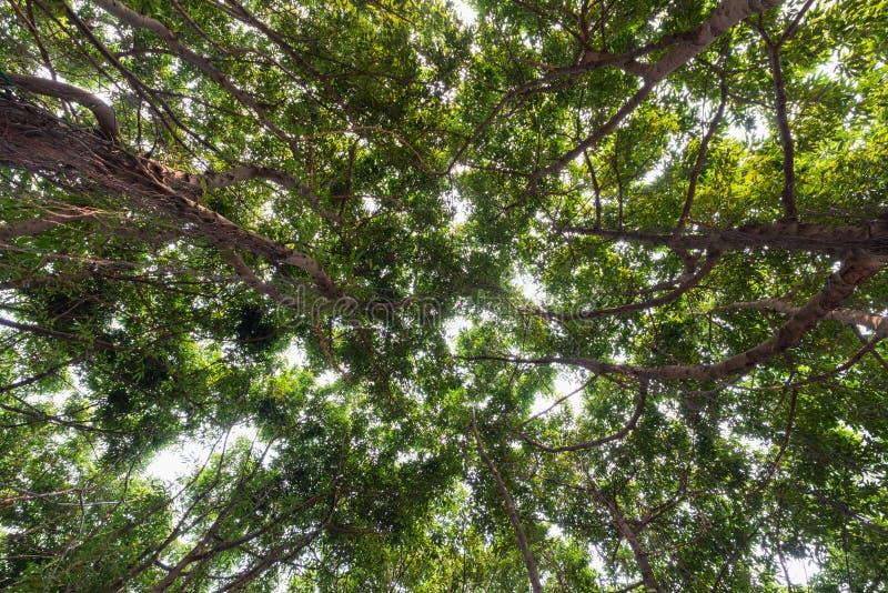 Взгляд конца-вверх старого и большого дерева, от вниз к treetop с зелеными листьями Солнечный свет через branchwork леса близко стоковое изображение