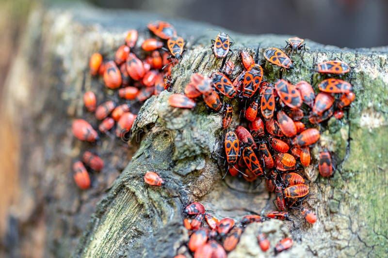 Взгляд конца-вверх apterus Pyrrhocoris много клоп-солдатиков на stub дерева Детали красивой красной колонии жуков стоковые фото