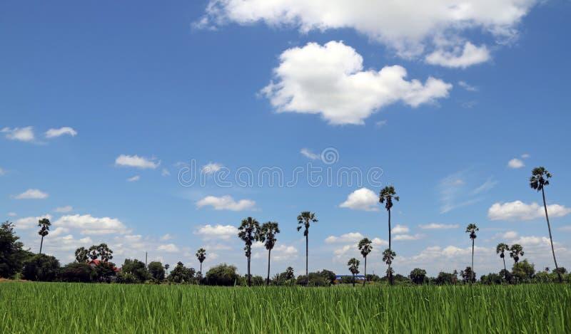 Взгляд красивый ландшафта поля риса, с голубым небом и ладонью сахара ландшафт все видимые характеристики стоковые фото