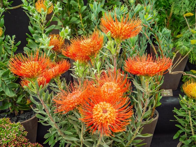Взгляд красивых цветков Protea Leucospermum или Pincushion стоковая фотография rf