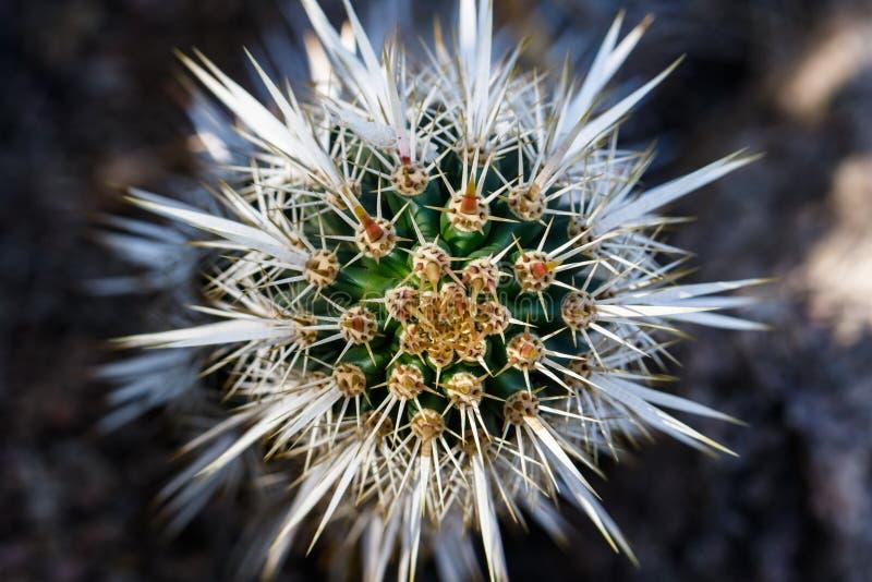 Взгляд крупного плана головы на кактусе дьявола проползать Иглы формируют уникально, симметричную картину стоковая фотография