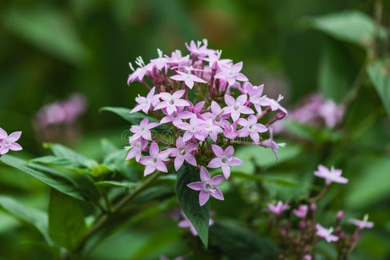 Взгляд крупного плана красивого цветка milkweed болота стоковая фотография