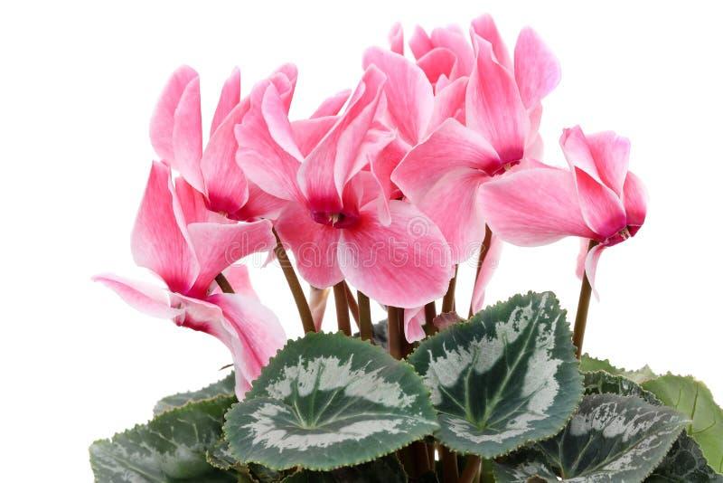 Взгляд крупного плана розового cyclamen стоковое фото rf