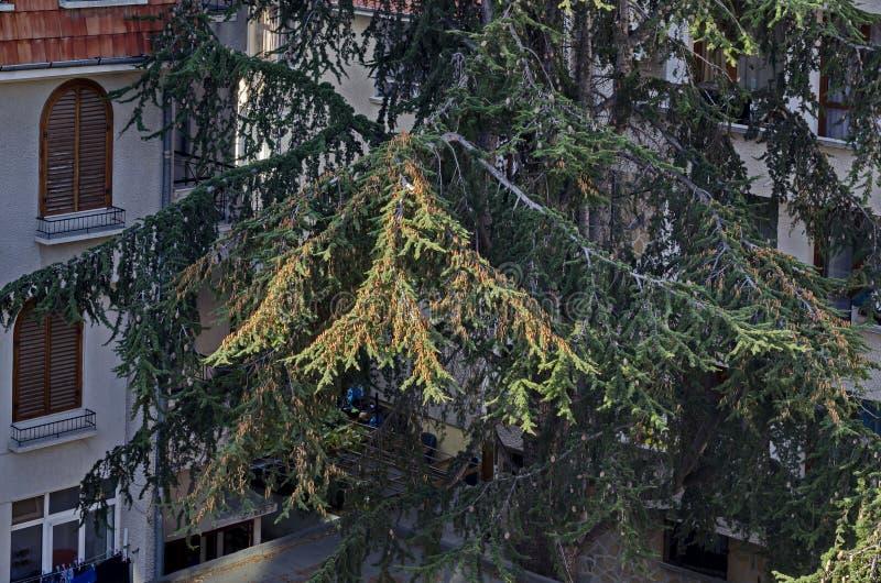 Взгляд к жилому району в морском курорте новом Nesselar на побережье Чёрного моря с разнообразными хвойными деревьями стоковые изображения rf