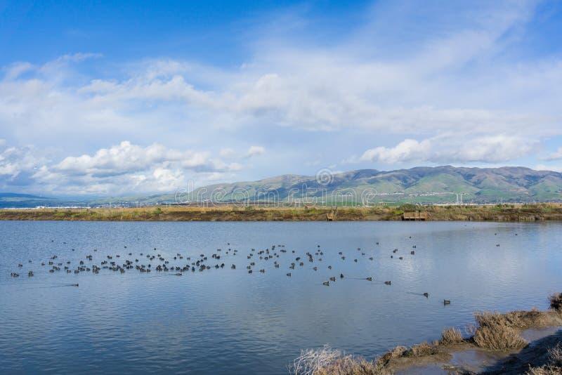 Взгляд к миссии и пику памятника; простофили плавая на пруде соли; Охраняемая природная территория Дон Edwards, юг San Francisco  стоковое фото rf