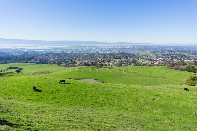 Взгляд к Fremont, скотинам пася на холмах, восточному San Francisco Bay, Калифорния стоковые изображения