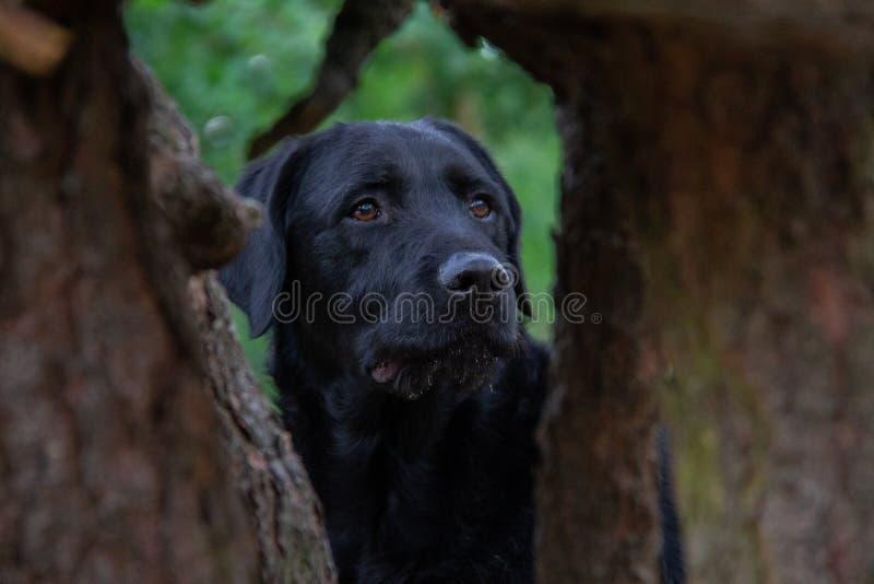 Взгляд Лабрадор черной собаки в лесе между 2 деревьями стоковые изображения rf