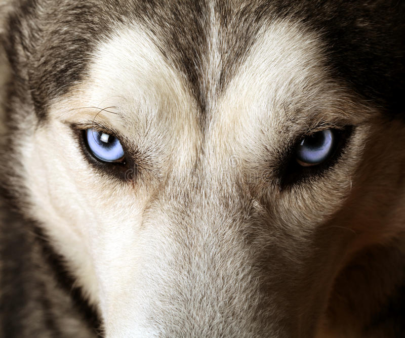 взгляд лайки глаз сини близкий стоковое изображение